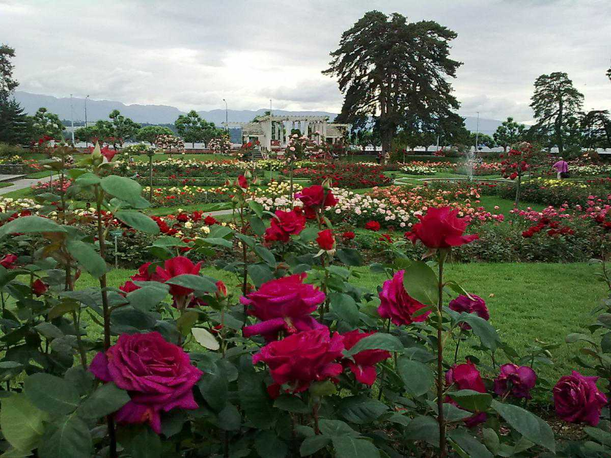 Картинки по запросу сад роз в женеве