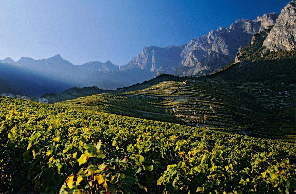 Швейцарские виноградники - не только часть пейзажа
