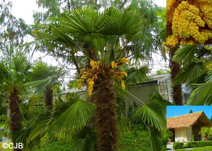 Trachycarpus wagnerianus в Женевском ботаническом саду
