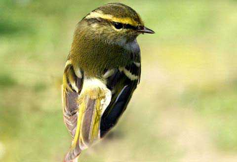 Птицы. chirik (18)