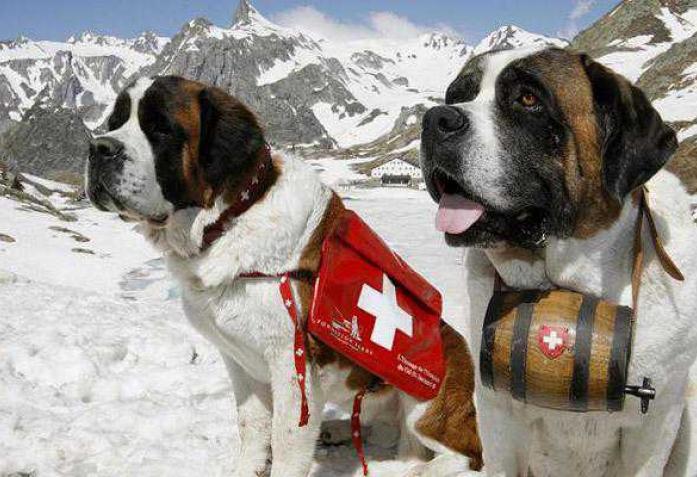 крупная служебная собака из альпийского питомника